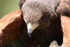 Inside the Harris Hawk (San Diego Shooter) Tags: sandiego hawk sandiegozoo safaripark hawks sandiegowildanimalpark harrishawk sandiegozoosafaripark sandiegosafaripark