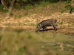 Solo Warthog - Yala National Park