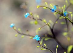 L I T T L E . B L U E S (Miss K.B.) Tags: flowers blue macro green nature garden ilovenature botanical spring flora dof bokeh details explore nikkor delicate blooming storypeople 105mm 105mmf28gvrmicro bokehlicious nikond80