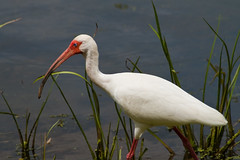 Brazos Bend 25th Anniversary - White Ibis