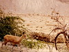 small ibex at ein gedi preserve, israel