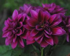 purple dahlia dream (Linda Strickland) Tags: dahlia myfrontyard