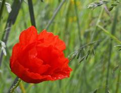 Wild poppy (Steve-h) Tags: ireland red wild dublin green finepix poppy fujifilm grasses steveh s100fs goldenart