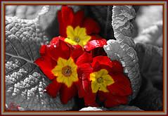 primevère. (Joy Bajay) Tags: red flower nature fleur rouge photo amazing group morbihan printemps the mfcc primevere joyr kermaux