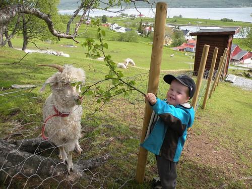 feeding the angora goats
