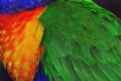 Colours of the Rainbow (Bruce Kerridge) Tags: blue red color colour macro green bird art nature animals yellow closeup spring rainbow nikon perfect colorful graphic wildlife wing sydney feather lorikeet parrot australia explore colourful avian plume d80 rainbow lorikeet