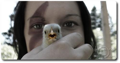 Calling chicken