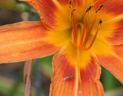 day lily with orange fly