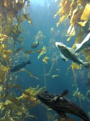 fish in kelp (praise cheeses) Tags: montereyaquarium testingiphonecamera
