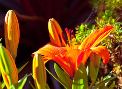 Blooming lily (Thomas Tolkien) Tags: school copyright art sports tom digital photography photo education nikon lily d70s teacher website creativecommons teaching tolkien jrr tuition blooming twitter robertbringhurst bringhurst thomastolkien tomtolkien httpwwwtomtolkiencom httpthomastolkienwordpresscom tolkienart notrelatedtojrrtolkien tolkienteacher tolkienteaching
