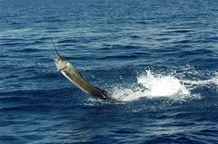 sailfish port canaveral