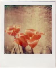 Una de tulipes de primavera (almogaver) Tags: