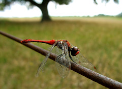Europian Dragonfly Vagrant Darter (Male) - Sympetrum sanguineum (Batikart ... handicapped ... sorry for no comments) Tags: travel light red summer vacation brown sun holiday black detail macro green rot eye texture nature animal yellow closeup fauna canon fence germany hair insect geotagged deutschland nationalpark wire europa europe dragonfly bokeh sommer wildlife urlaub leg natur wing meadow wiese august gelb grn braun makro marking libelle insekt tier 2010 mecklenburgvorpommern mritz libellulidae anisoptera waren ruddydarter mecklenburgwesternpomerania canonpowershota610 sympetrumsanguineum moorsee fluginsekt vagrantdarter viewonblack blutroteheidelibelle erythrommaviridulum mritznationalpark segellibelle batikart sympetrinae grosslibelle