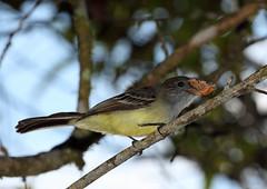Pale-edged Flycatcher, San Isidro, Ecuador (Terathopius) Tags: ecuador canonef100400mmf4556lisusm paleedgedflycatcher myiarchuscephalotes canoneos5dmkii