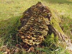 Tree stump. (ohefin) Tags: tree green wales stump owen cei llydan fachwen hefin nikoncoolpixs8000