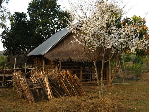 plum tree n house.jpg