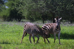 Zebras at Play, Malilangwe