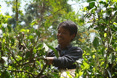 Xi Suan Ban Na Picker (JING Tea) Tags: tea tealeaves puerh puerhtea teapicker teapicking