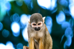 ぼけ - Boke (Karnevil) Tags: southamerica nature monkey ecuador nikon bokeh boke ぼけ d300 amazonjungle naporiver squirelmonkey bokeru ぼける