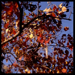 秋の光 III (gullevek) Tags: blue light red plants tree 6x6 japan geotagged iso100 tokyo kodak bokeh seeds 日本 東京 秋 木 港区 rolleiflex28c epsongtx900 autaut geo:lat=35661297 kodakektachromeepn100 geo:lon=139759322