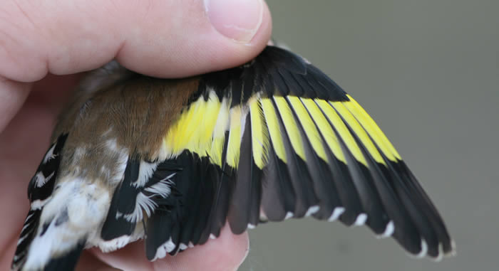 Goldfinch wing