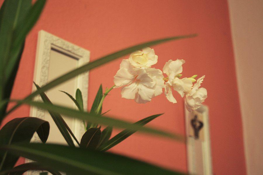 white oleander I