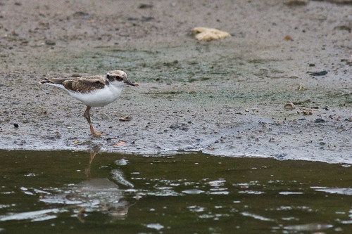 Immature Black-fronted Dotterel