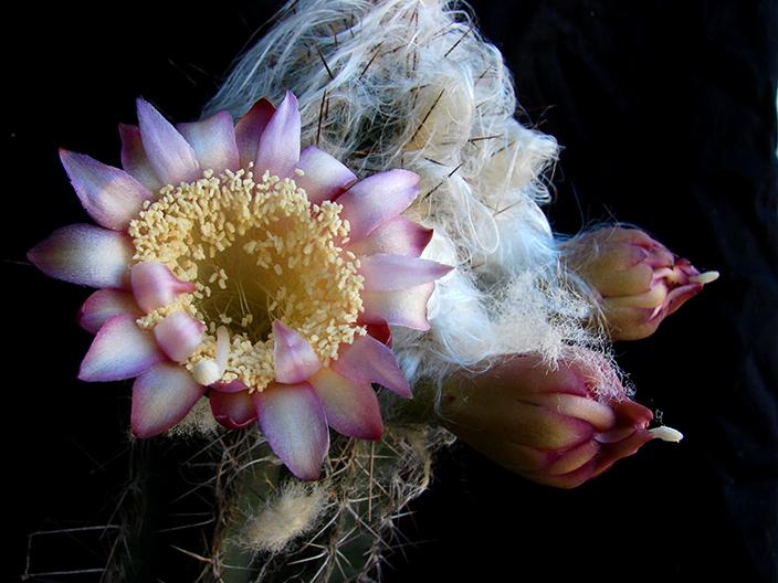 Summer Cacti Flowers 3315046580_167c9e53b1_o