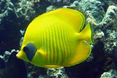 Lemon Butterflyfish (blichb) Tags: fish underwater sharmelsheikh scuba fisch tauchen unterwasser potofgold lemonbutterflyfish gpyten zitronenfalterfisch blichb