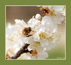 The bees are back in town! (RitaK.) Tags: macro nature insect blossoms bee honeybee plumtree plumblossoms naturesfinest naturescall d80