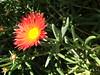 Flower at the Desert Botanical Garden