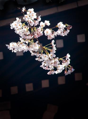 More Sakura 05