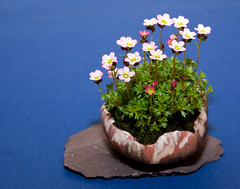 Accent Plant - Best of British Bonsai Show - Edgebaston