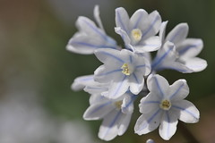 Puskinia (Karen Brodie Photography) Tags: flower garden spring guelph puskinia
