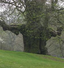 Ancient tree, Christchurch Park, Ipswich (wonky knee) Tags: uk suffolk oak ipswich christchurchpark eiche ancienttree chene arbrecentenaire arbreancien arbreenorme altebaum grossebaum