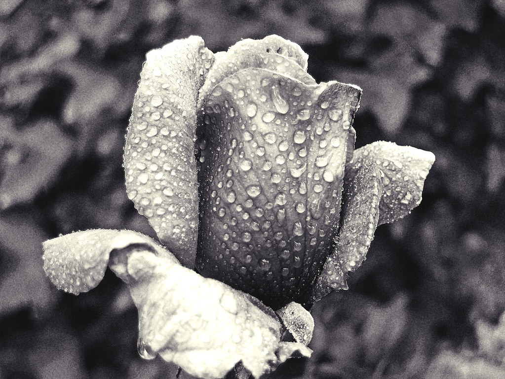 Dramatic rose