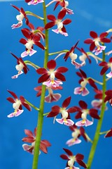 /Calanthe (nobuflickr) Tags: flower nature japan kyoto discolor calanthe naturesfinest thekyotobotanicalgarden calanthediscolor awesomeblossoms