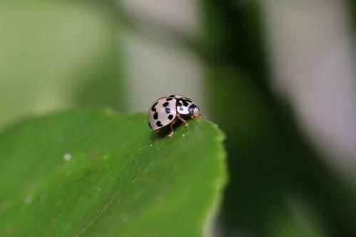 Ladybug Olla_IMG_0092