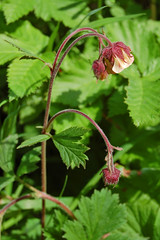 Water Avens (Geum rivale)