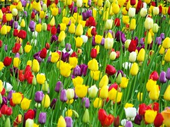 A Riot of Color! (AGreatEuropeTripPlanner!) Tags: flowers chicago flores nature fleurs illinois tulips blumen michiganavenue fiori fiore springflowers flowerpower bloemen magmile bulbflowers blhen bloeien florecen florescem flowerawards awesomeblossoms coloridocolor eliteawesomeblossoms floralfantasia addictedtoflower exquisiteworldofnature