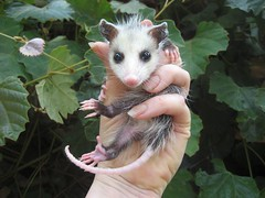 baby opossum, virginia, Mary Cummins (Mary Cummins) Tags: california wild rescue baby fish game animal losangeles los babies angeles wildlife mary ill department cummins injured broker rehabilitation appraisal appraiser orphaned wildliferehabilitation californiadepartmentoffishandgame animaladvocates marycummins marycumminscobb marycobb wildliferehabilitator wwwanimaladvocatesus californiadepartmentoffishgame animaladvocatesus marycumminscom marykcummins cumminsrealestateservices