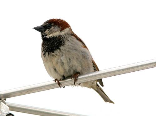 House Sparrow 20090510
