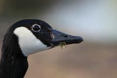 Goose Portrait (Lightnomad) Tags: wildlife goose