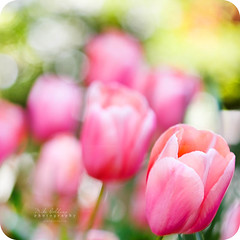 Walking in a field of dreams (Mike Golding) Tags: pink light macro green nature field composition petals bokeh illumination naturallight 100mm petal tulip f28 mikegolding