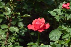 [Un trandafir în faţa Muzeului de Geologie]