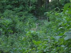 3 - Deer