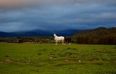 alvie estate cairngorms national park scotland (plot19) Tags: blue sky horse white green scotland highlands nikon cairngorms cairngormsnationalpark mywinners theunforgettablepictures goldstaraward alvieestate plot19 aviemoore