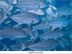 JACK  FISH (TACO1978) Tags: dive bohol panglao balicasag