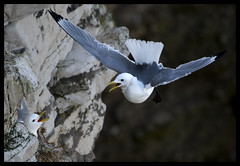 Kittiwake returning to his mate (larus tridactyla) (hawkgenes) Tags: nature birds wildlife gulls reserve seabirds kittiwake bempton larustridactyla