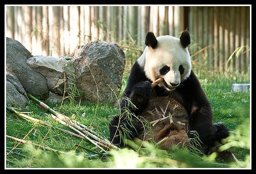 Panda poniéndose gocho-gocho